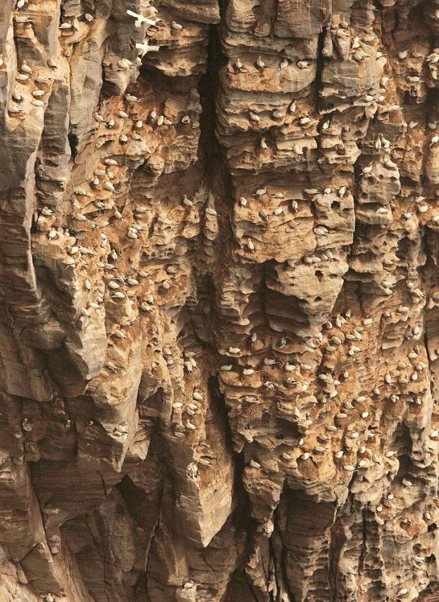 A gannet plot on the cliffs