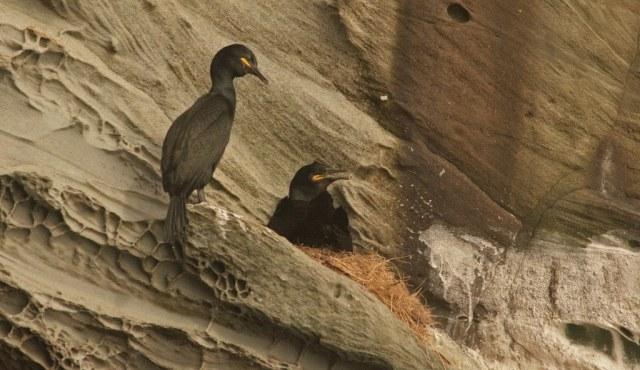 Shags on a cliff-face nest