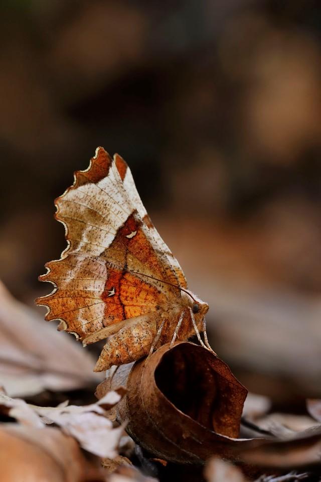 Lunar thorn moth