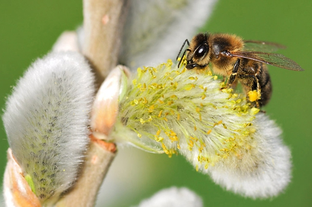 Honey bee with pollen basket clearly shown