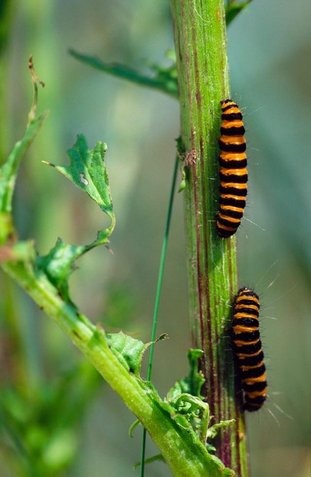 Cinnibar moth caterpillars on a Ragwort plant