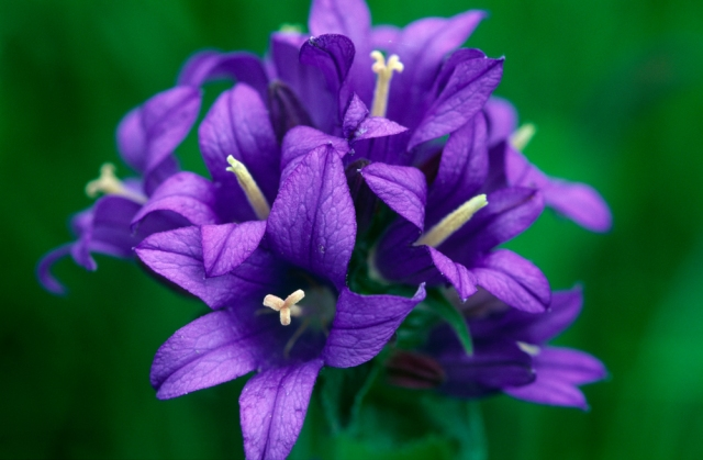 Clustered bellflower.