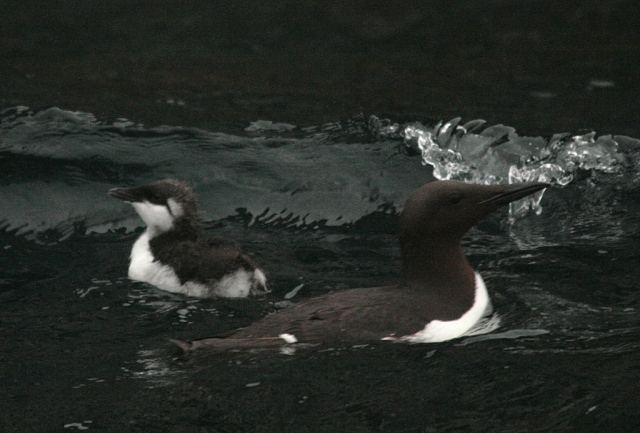 Guillemot chick maiden voyage