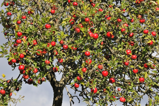 An apple tree at Port Allan, Carse of Gowrie Orchards