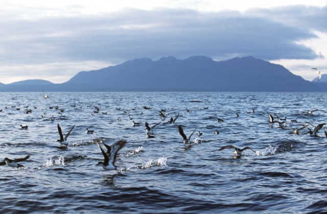 A raft of Shearwaters taking off with the Isle of Rum NNR beyond.