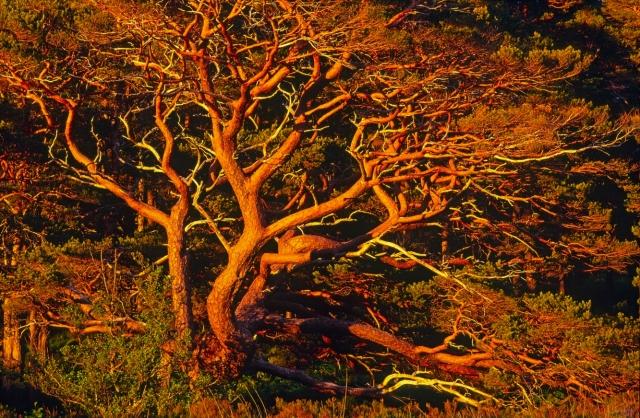 Scots pine (Pinus sylvestris) boughs at dusk, Beinn Eighe NNR