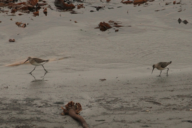 Two curlew sandpipers