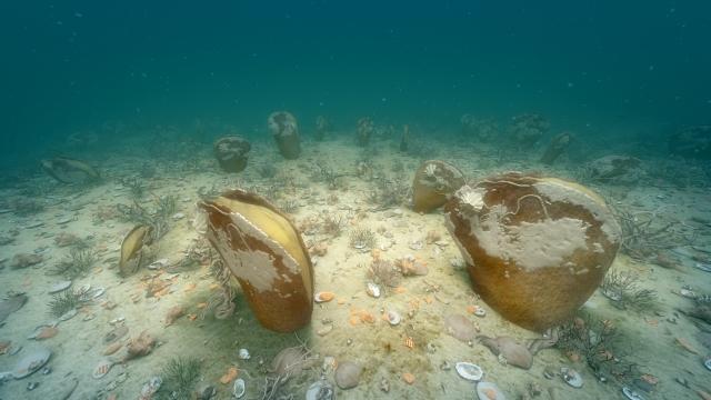 Fan mussels