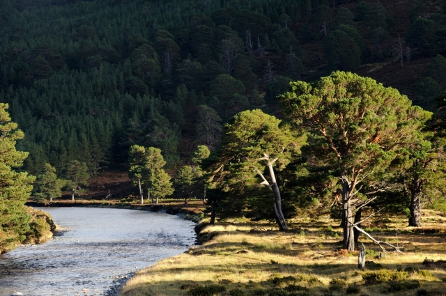 Ancient scots pine forest and the River Feshie, Glenfeshie
