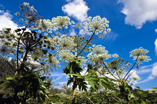 Giant Hogweed, Heracleum mantegazzianum, growing by the River Tay in Perth._©Lorne Gill/SNH