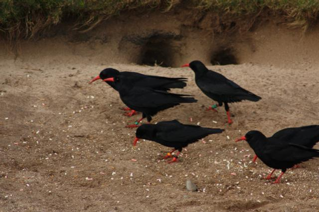 A group of choughs on Islay