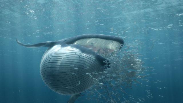 Feeding minke whale