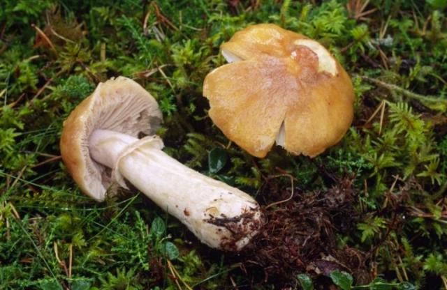 Rozites Caperatus, a highly regarded edible species