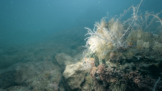 Northern sea fans and sponge community