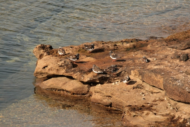 A small flock of turnstone