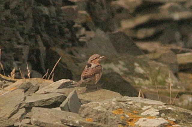 Wryneck on cliff dyke