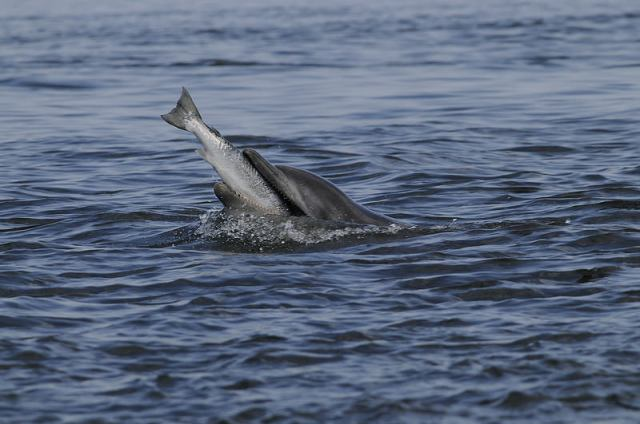 Dolphin with salmon