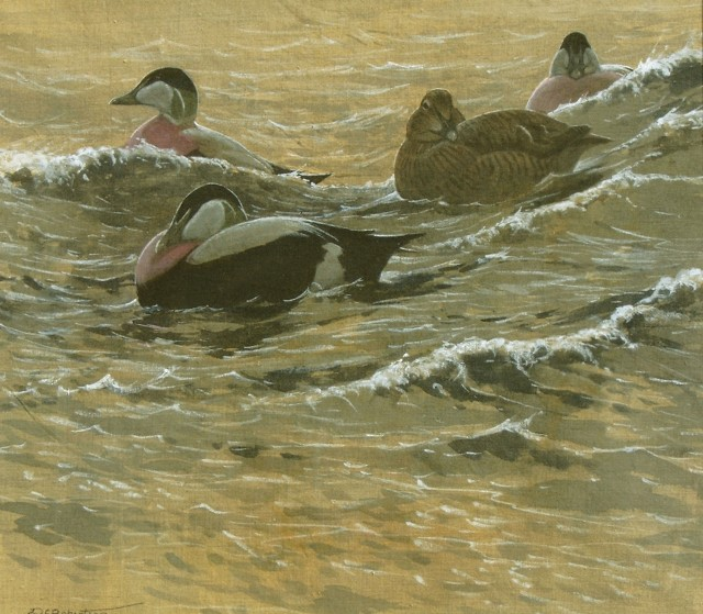 Swell evening. Painting of eider ducks - Derek Robertson