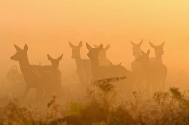 Deer in mist at sunrise. ©Terry Whittaker/2020VISION