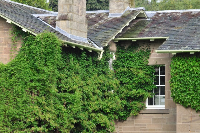 Slate roof and climbing ivy