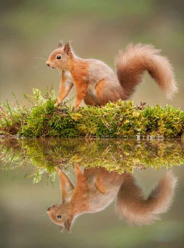 Red squirrel at woodland pool, Scotland, November 2011. ©Mark Hamblin/2020VISION
