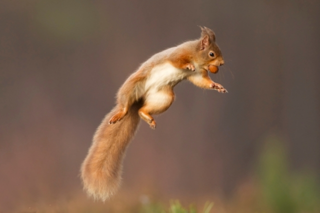 Red squirrel jumping.  ©Pete Cairns/2020VISION