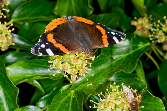 Red Admiral feeding on Ivy flowers
