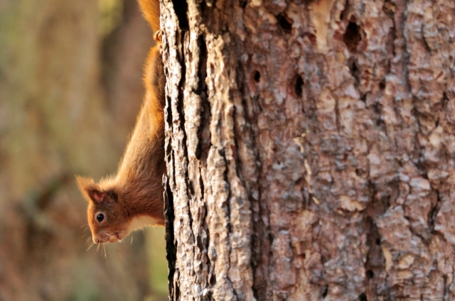 Red squirrel climbing down the trunk of a Scots pine tree.  ©Lorne Gill