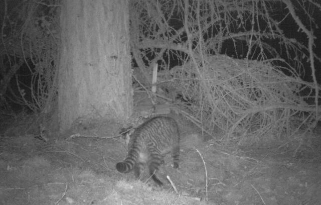 SNH Wildcat camera image - cropped  - Angus