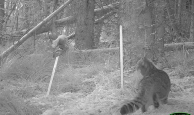 SNH Wildcat camera image - cropped  - Strathbogie