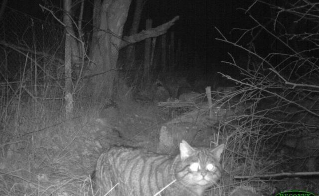 SNH Wildcat - Strathpeffer