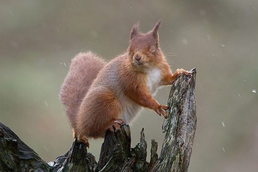 Red squirrel (c) Shelley Shipton-Knight