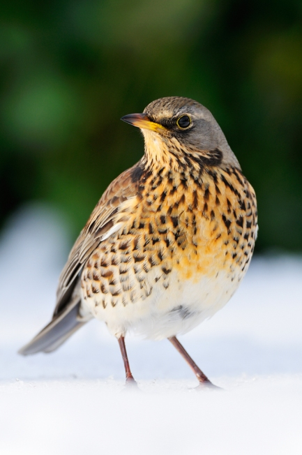 Fieldfare (c) Laurie Campbell