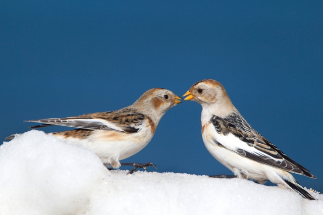 Snow bunting (c) Mark Hamblin