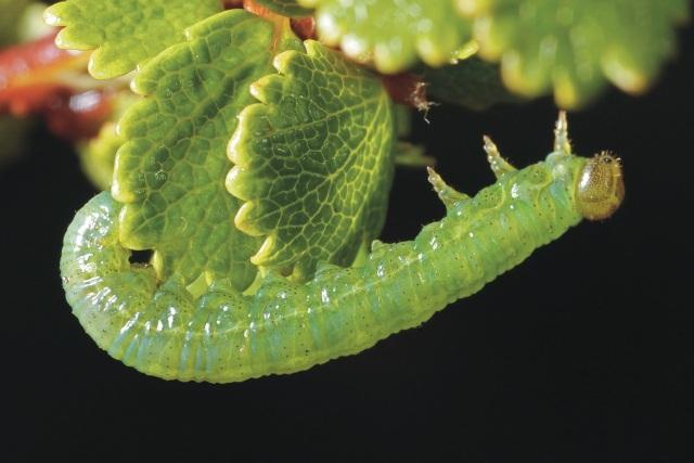 Sawfly larva (Nematus pravus) on dwarf birch at Dundreggan – this species was unknown in the UK until it was found at Dundreggan in 2012