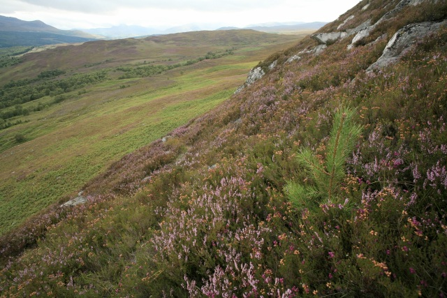 Scots pine seedling near the summit of Binnilidh Bheag on Dundreggan, with a view west to the riparian woodland along the Allt Ruadh watercourse