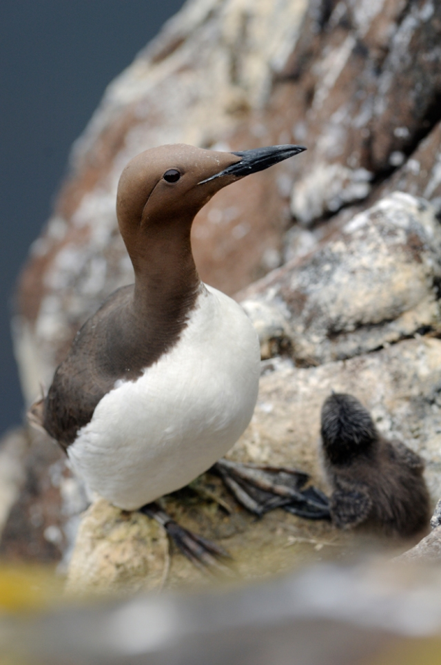 Guillemot and its chick