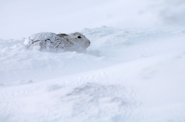 Mountain Hare caught in a snow shower. ©Lorne Gill