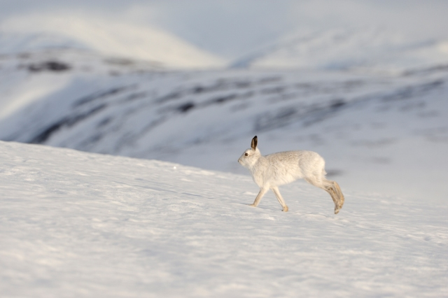 Mountain hare, Lepus timidus. ©Lorne Gill