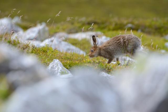 Mountai hare (Lepus timidus). Glenshee hills.©Lorne Gill
