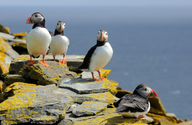 Puffins on Noss