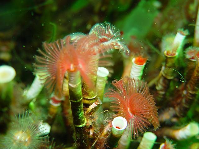Organ-pipe worms (Serpula vermicularis) in Loch Creran (c) Graham Saunders/SNH