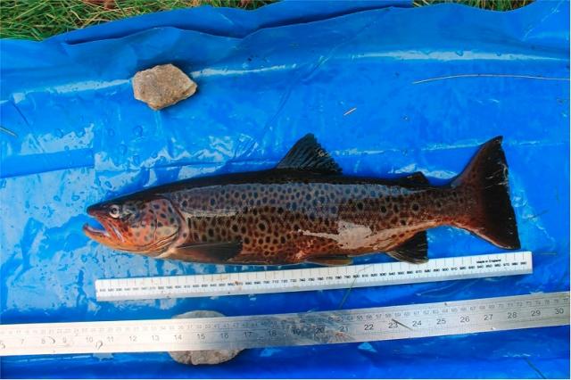 Ferox trout
