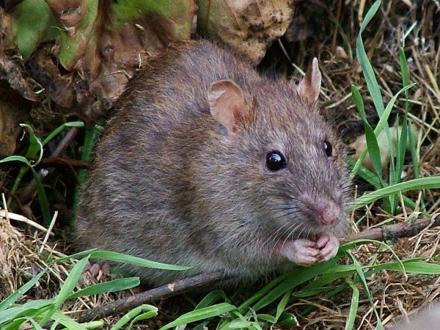 WIld brown rat, © Reg McKenna via Creative Commons