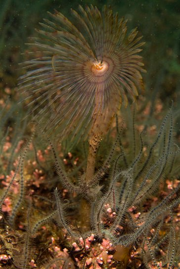 Peacock worm on maerl bed, © Marine Scotland/Graham Saunders