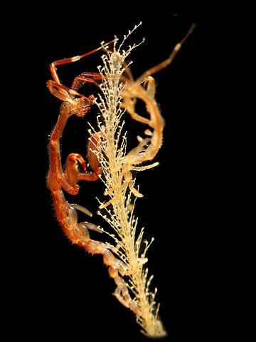 Japanese skeleton shrimp, © Hans Hillewaert