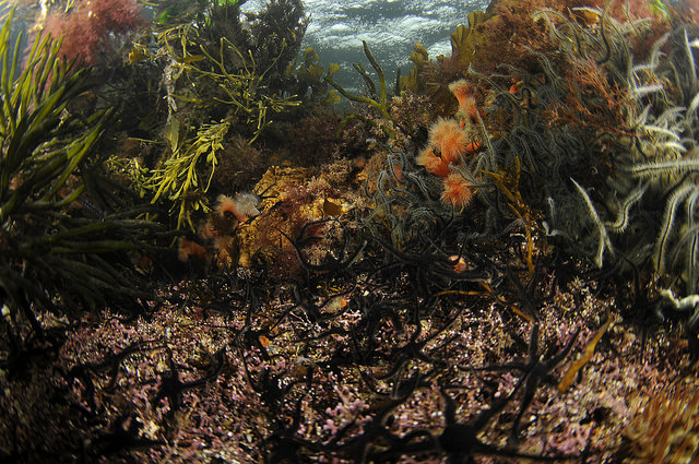 Maerl and black brittlestars amongst seaweeds and sponges in Loch Sween MPA, © Ben James.