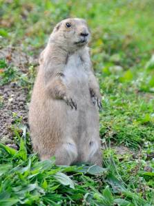 Prairie dog, Crown copyright 2009