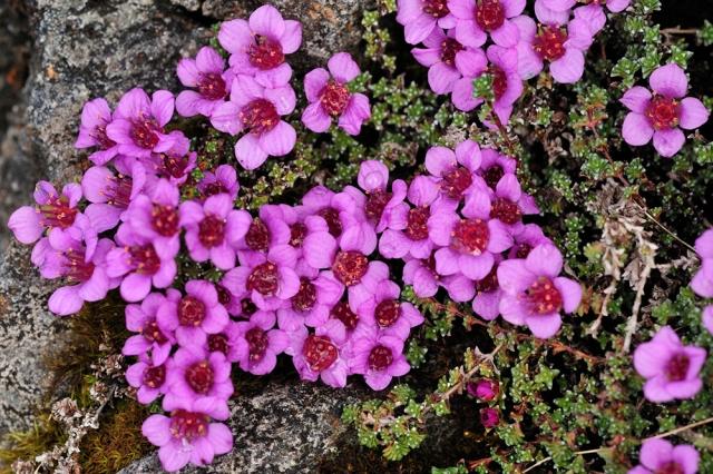 Purple saxifrage