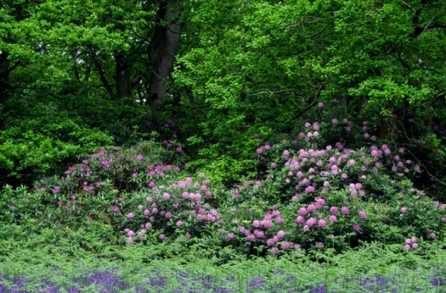 Rhododendron invading a native woodland in Perthshire, © Lorne Gill/SNH